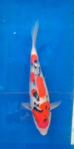 524-Bale koi - pinrang - Bale koi - Pinrang - Taisho Sanshoku - 30 cm - Unknown - Import- 085255579568