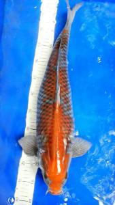 511-Bale koi - pinrang - Bale koi - Pinrang - Ochiba - 57 cm - Male - Lokal - 085255579568