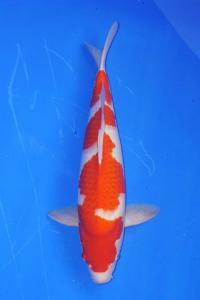 463-KARTONO-jakarta koi center-bogor-KOHAKU-50cm