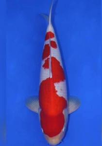 230-Oris - Mks - Senggol Koi - Mks - Kohaku - 61 - M - I